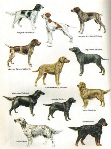 sporting breeds sporting breeds how to sustain your buddy s athletic nature