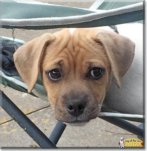 russel terrier pug mix hugo the terrier pug mix the of the day july 24 2015