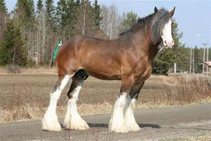 clydesdale horses horsecrazed