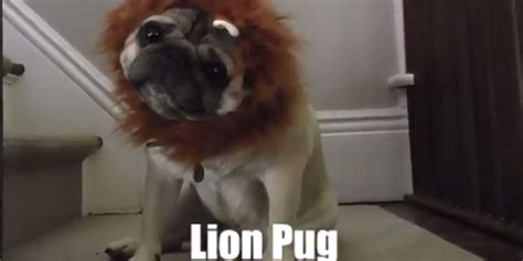 pugs and lions hinterland who s who of pug is so and