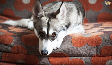 why do dogs carpet why do dogs rub their faces on the carpet or furniture pets4homes