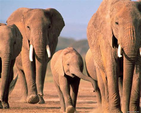 elephants animals brown elephants 1280x1024 wallpapers photografies photo wallpapers