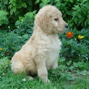 goldendoodle puppy breeders goldendoodle for sale breeds picture