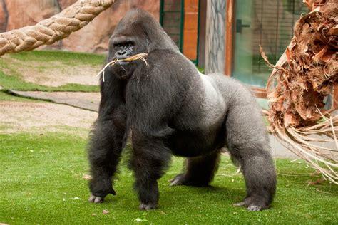 imagen del cuerpo de  gorila imagenes  fotos