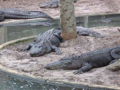 alligator farm zoological park   zoos saint augustine fl reviews yelp