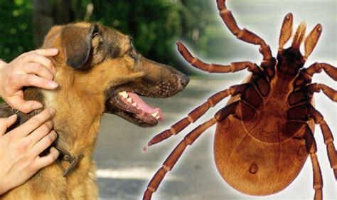 tick borne diseases in dogs canine babesiosis deadly tick borne disease arrives in uk uk news express co uk