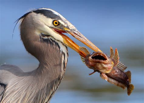 file bird eating fish jpg