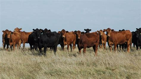 how to a cattle to work cattle cattle production