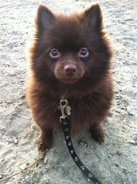 chocolate pomeranian puppy 17 best images about future puppy on chocolate labradors chocolate