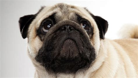 what is a pug bred for pug breed selector animal planet