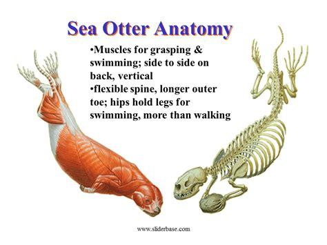 sea otter diagram sea otter presentation plants animals and ecosystems