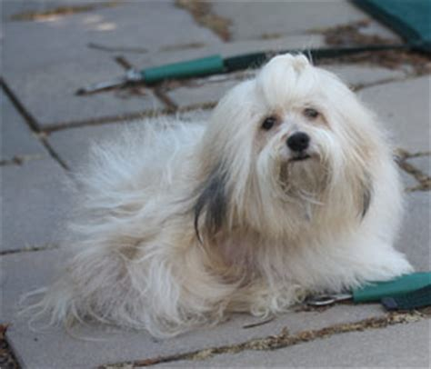 havanese blowing coat blowing coat talemakerhavanese