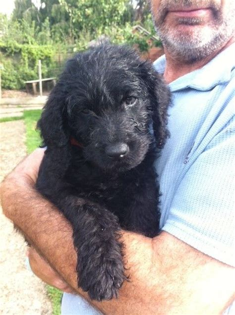 black labradoodle puppies for sale black labradoodle puppies colchester essex pets4homes