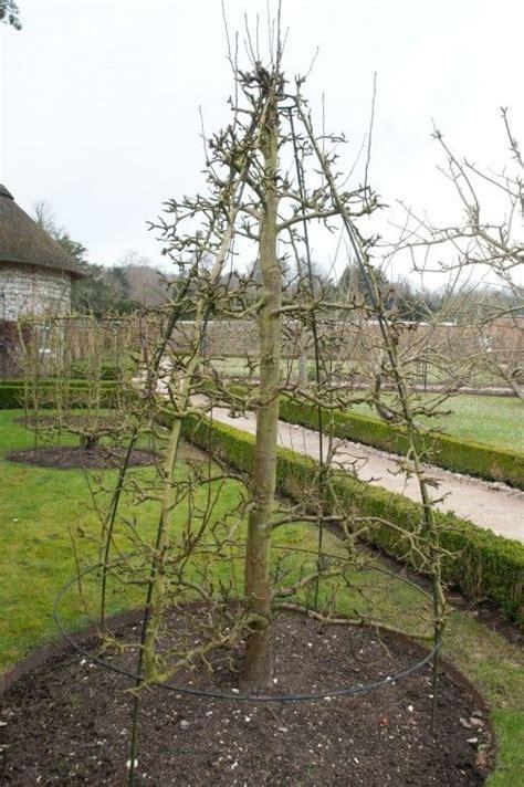 pruning fruit trees best 25 prune fruit ideas on pruning fruit