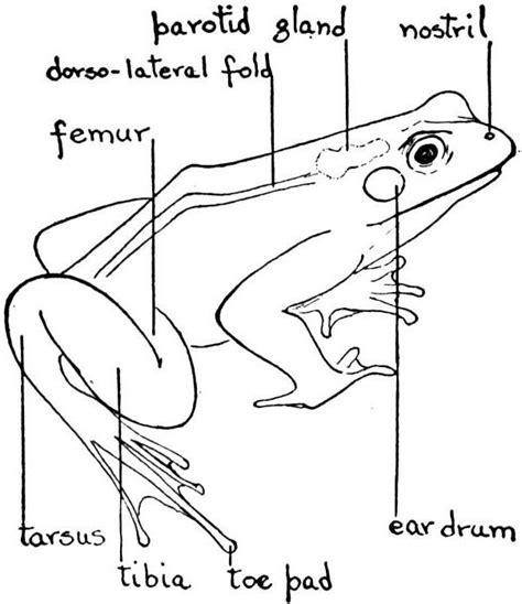 diagrams of frogs frog external anatomy