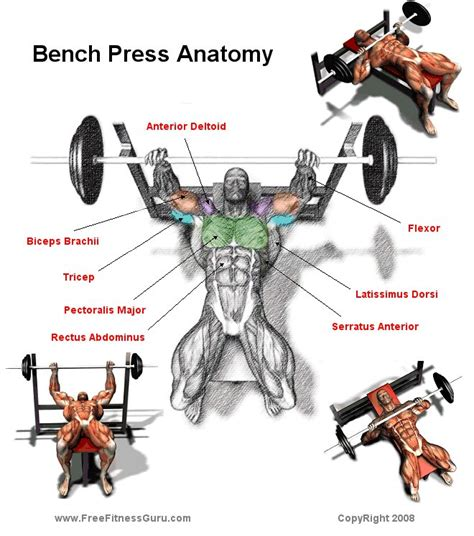 bench muscles freefitnessguru bench press anatomy