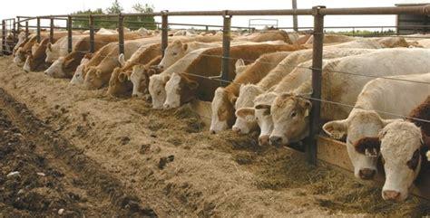 tips sukses  fermentasi pakan ternak