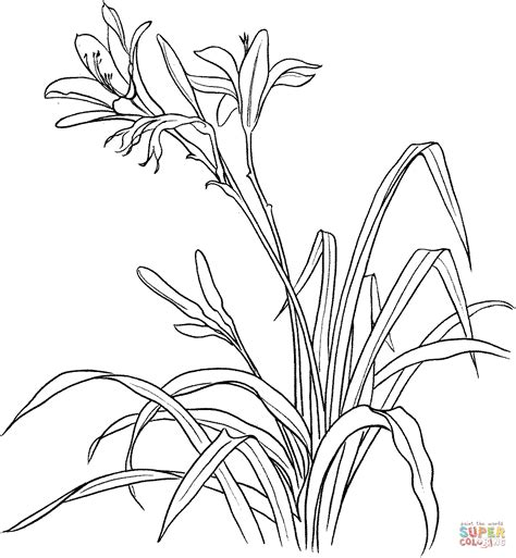 hemerocallis spp or day lily coloring page free