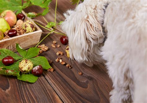 dogs and almonds can dogs eat nuts american kennel club