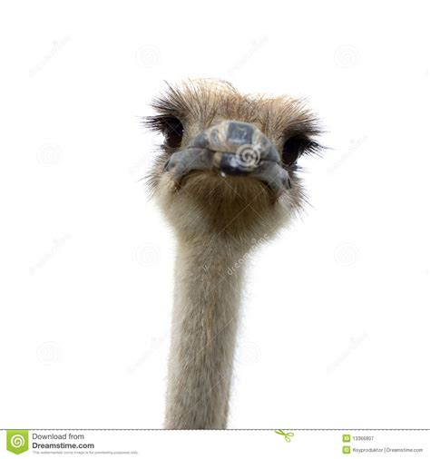 ostrich isolated on white background royalty free stock