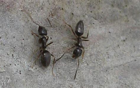 ants in backyard ants in backyard tapinoma sessile bugguide net