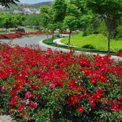 teppich altrosa scarlet flower carpet clarenbridge garden centre