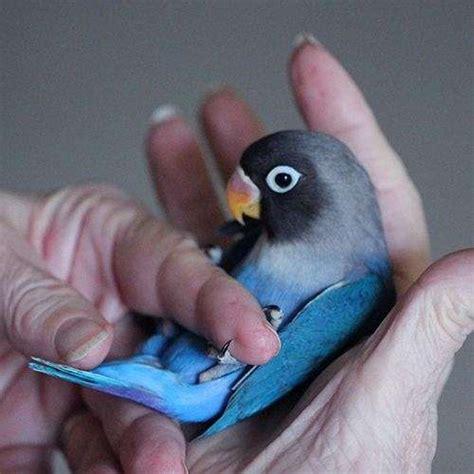 mexicanlove bird lovebirds for sale in florida