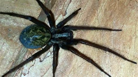 common house spiders funnel web spiders archives what s that bug