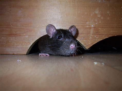 Mouse In The House by Five Facts About House Mice Articles