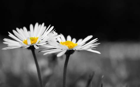 black and white flower background black and white flower wallpaper 56 images