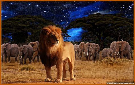 imagenes de leones gratis imagenes para descargar de leones preciosos imagenes de