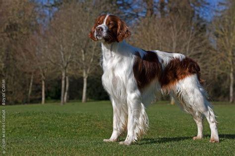 irish setter gun dog 60 best irish red and white setter images on pinterest