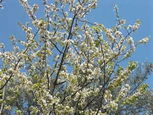 tree with white flowers cherry tree white flowers zoom cherry tree