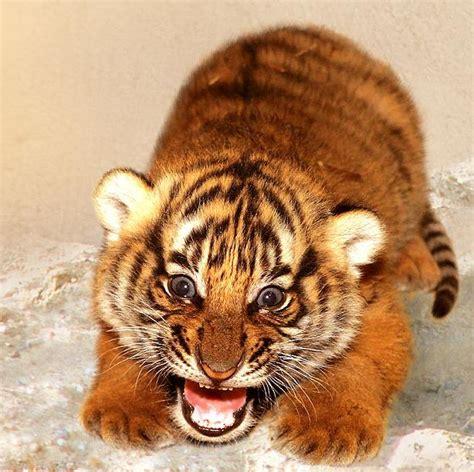 minicuentos de tigres y 8448837118 tigre cachorro mascotas yep