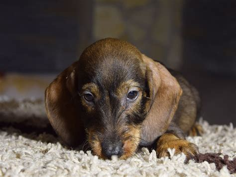 puppy pumpkin pumpkin dachshund puppy for sale puppy