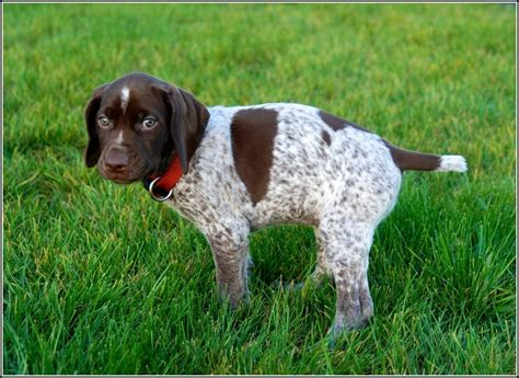 best bird dogs best bird dogs pet photos gallery 0wkdjmx3qd