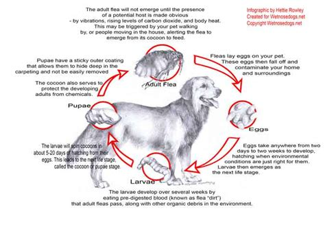 how to get fleas dogs how to get rid of fleas on dogs for