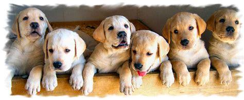 labrador retriever puppies virginia labrador retriever breeders va dogs in our photo
