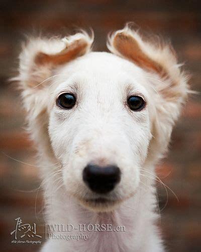 borzoi puppies meer dan 1000 idee 235 n whippet hond op whippets greyhounds en