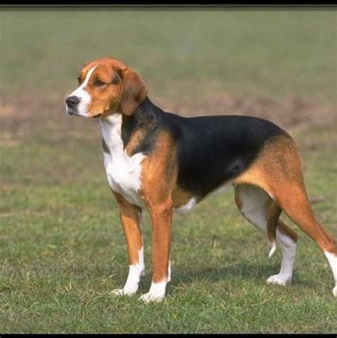 Foxhound Shedding by American Foxhound Breeds And Photos And List Of Dogs Breeds