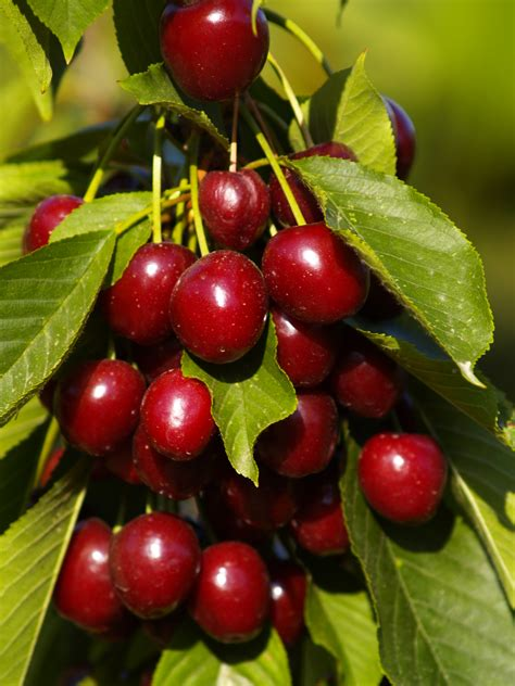 beautiful fruit trees image for most beautiful fruit trees projects to try