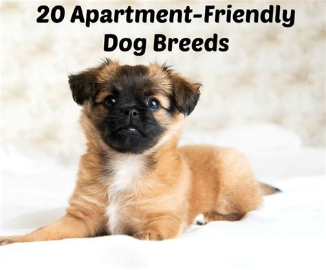 appartment dog 25 b 228 sta best dog breeds id 233 erna p 229 pinterest hundraser