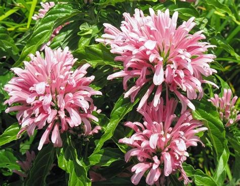 Tanaman Hias Bunga Hias 3 tanaman bunga flamingo jual tanaman hias