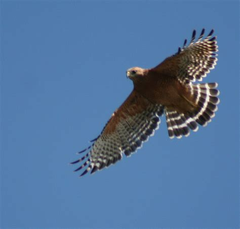 birds of westwood red shouldered hawk