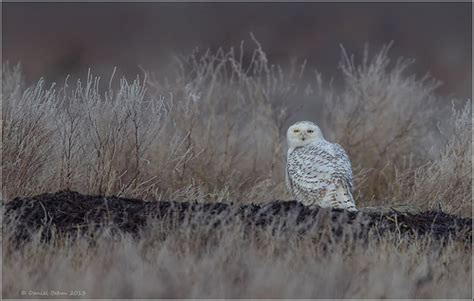 snowy owl perched in habitat flickr photo sharing