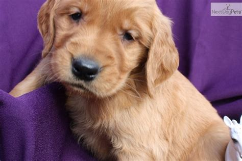 golden retriever puppies louisville golden retriever puppy for sale near louisville kentucky d7c3dc4e 65b1