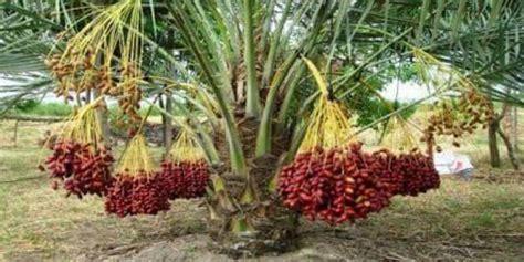 Bibit Buah Kurma cara menanam pohon kurma supaya berbuah di aceh