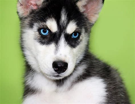 blue eyed puppies husky puppies with blue awesome pet blue husky puppy and