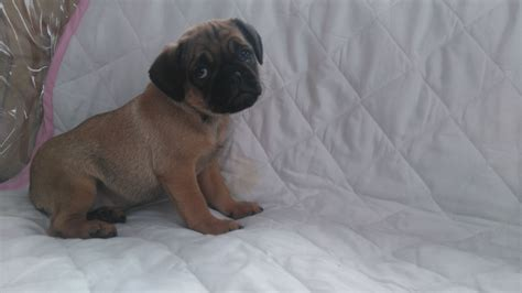 3 4 pug puppies for sale 3 4 pug puppies for sale newport newport pets4homes