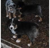Shamrock Rose Aussies  SCROLL DOWN FOR AVAILABLE PUPPIES BORN 8/10/16